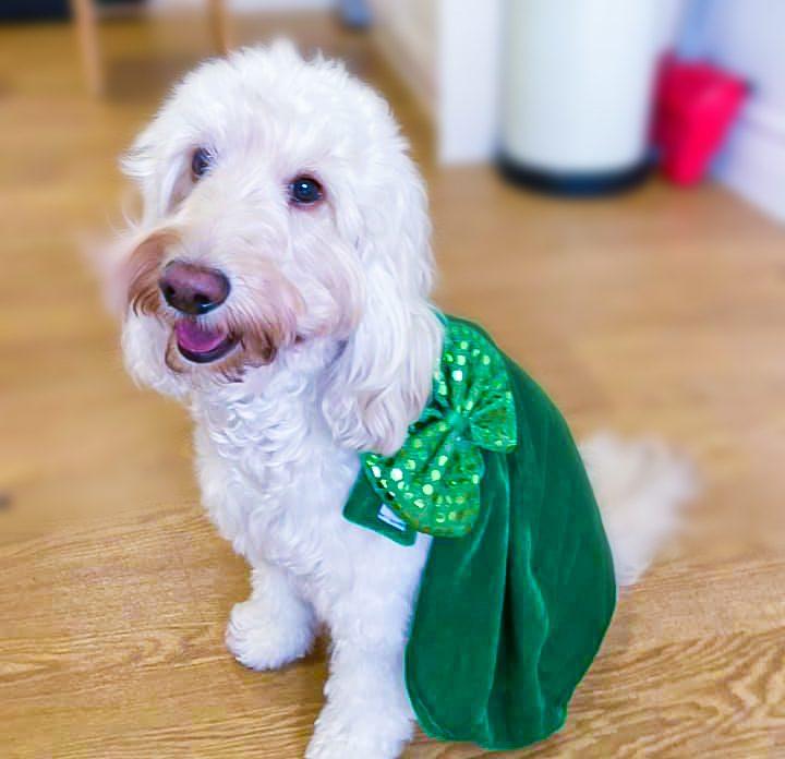 Jazz the dog on St Patrick's Day