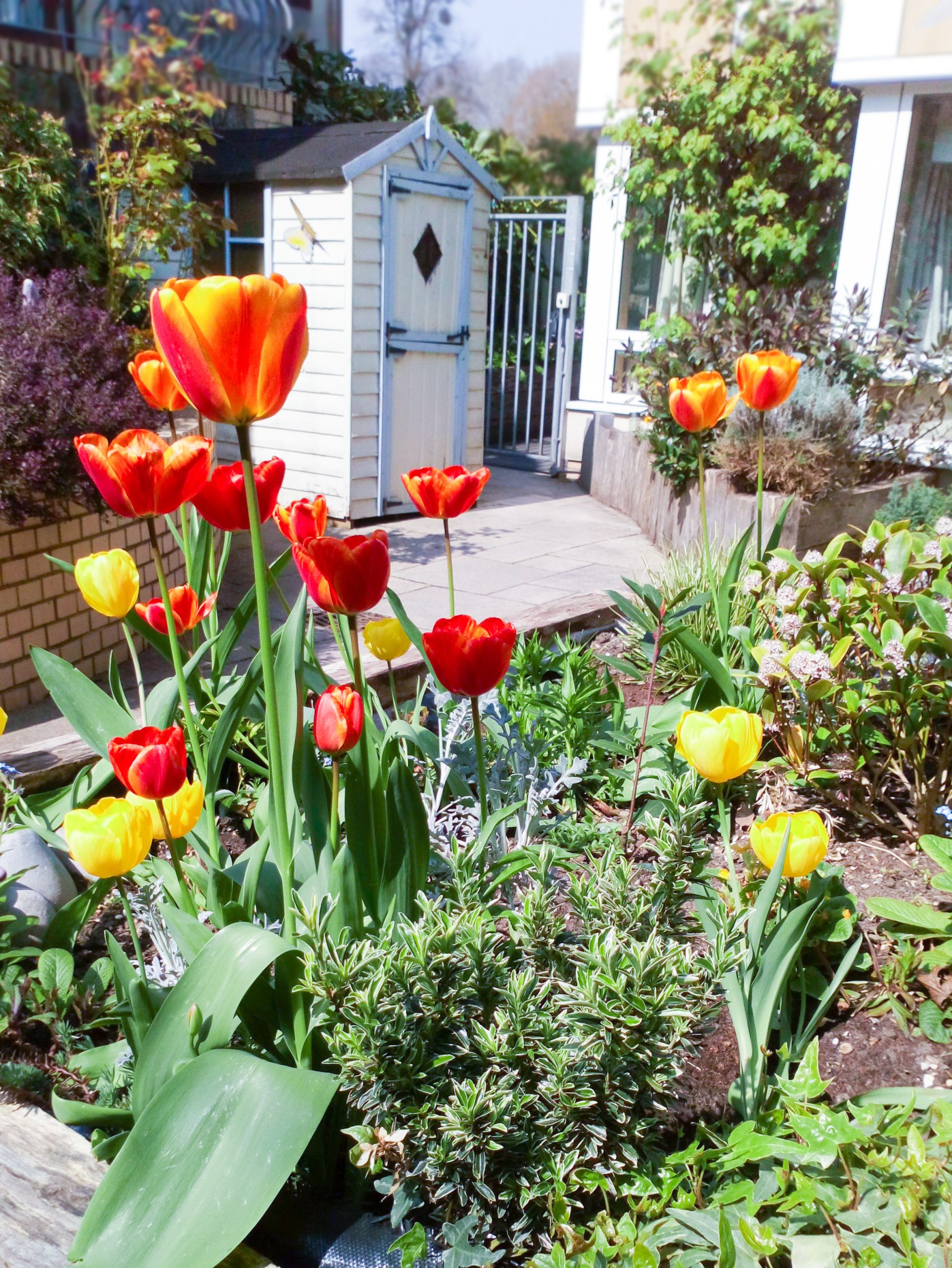 Tulip bulbs that have bloomed at Bradbury Court care home